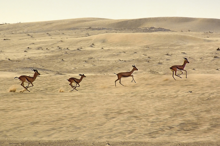 The desert has its own variety of wildlife. A small herd ...
