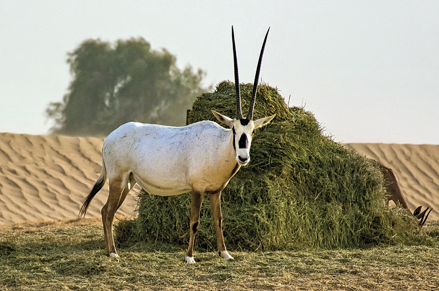 Arabian Oryx is used to tourists, looks on quizzically.