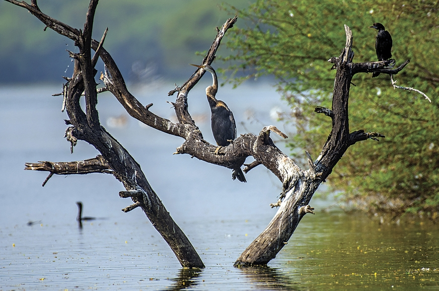 The darter or snakebird, has a slender neck that resemble...