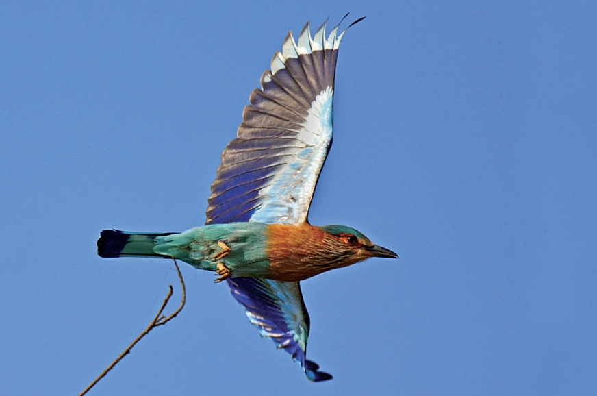 The Indian Roller is known for its acrobatic feats.
