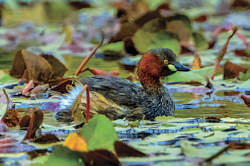 The Little Grebe is skilful at camouflaging itself in veg...