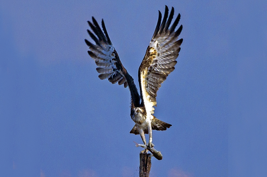 The osprey with a fresh catch in its talons.