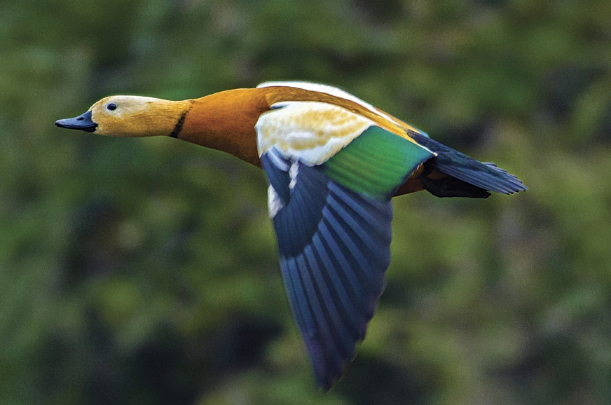 The Ruddy Shelduck migrates all the way from Southern Eur...