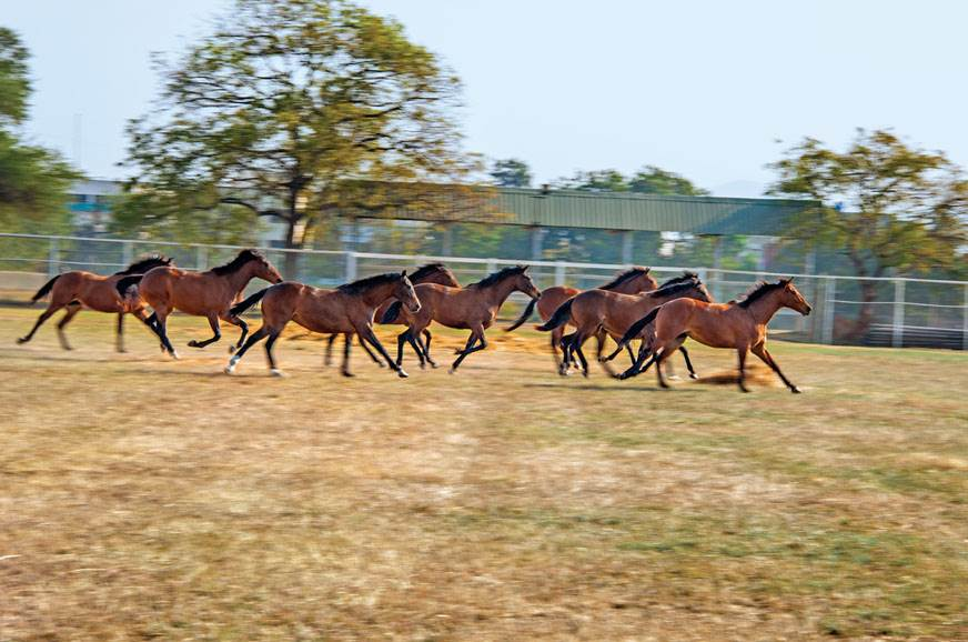 The thoroughbred, too, has been selectively bred over hun...