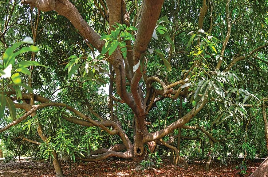 Kaleemullah Khan's pièce de résistance: A mango tree that...